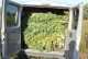 Policjanci ujawnili plantację marihuany pomiędzy Kościerzycami a Nowymi Kolniami