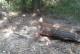 Próba zuchwałej kradzieży drewna. Złodzieje bezpowrotnie zniszczyli drzewo
