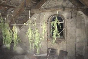 Suszył marihuanę na strychu
